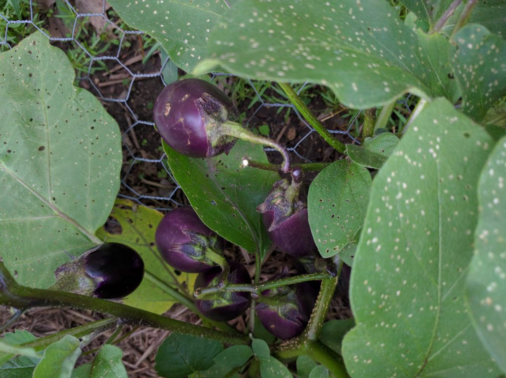 japanese looking, globe shaped eggplant 160819